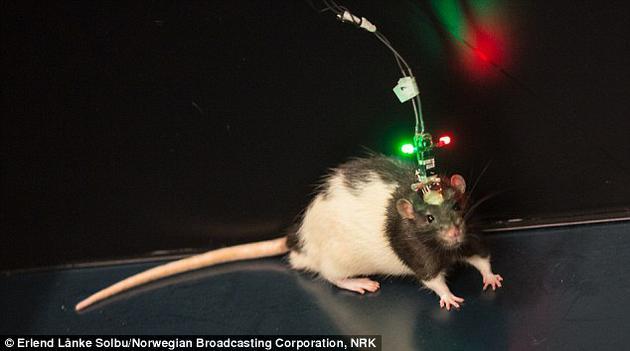 """博士生乔根•休格说:""""实验中的时间信号的独特性表明,在实验持续的两个小时之内,老鼠对时间和时间序列的记录非常好,我们能够使用时间编码的网络信号精确跟踪实验中发生各种事件的确切时间。"""""""