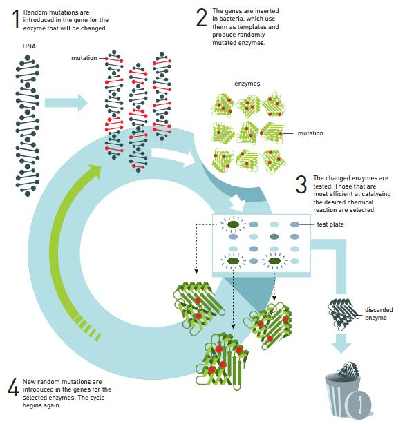 酶定向进化的基本原理。经过几个周期的定向进化之后,一种酶可能会有几千倍的效果。1、随机突变是随机引入基因的,这种酶最终会被改变;2、这些基因被插入细菌之中,细菌将它们作为模板,随机性制造突变酶;3、这种改变的酶物质已被测试,它们在催化所需化学反应方面十分有效。
