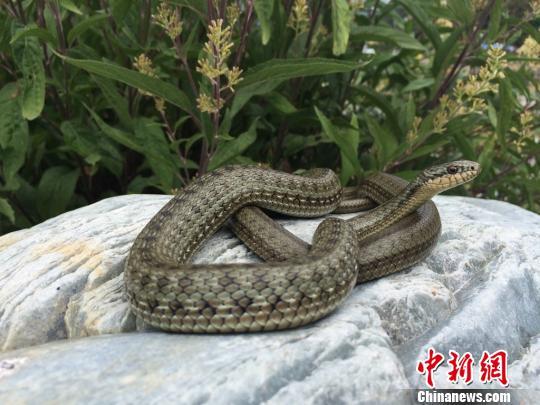 """《美国科学院院刊》)在线发表了中国科学家关于温泉蛇研究的最新成果"""""""