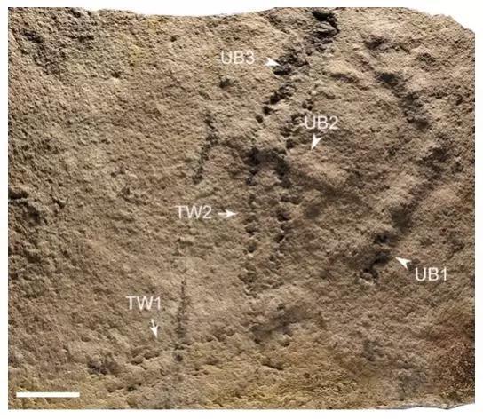 远古生物留下的凹陷脚印(图中TW),以及菌席下部活动形成的潜穴(图中UB)。图片来源:参考文献[1]