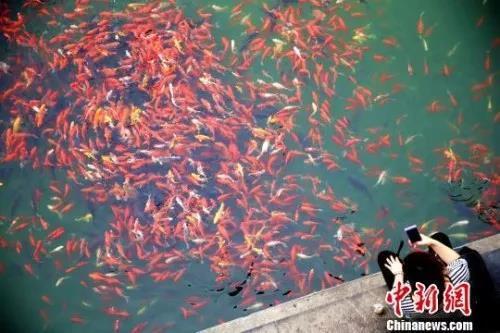 """全国都在转""""锦鲤"""" 这条鱼到底有什么故事?"""